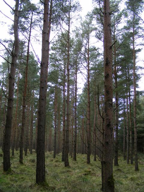 Scots pine Woodland