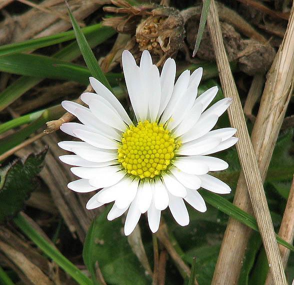 English Daisy Growing Extra Ring Of Petals