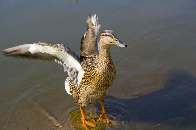 A Duck on Crawley Village Pond