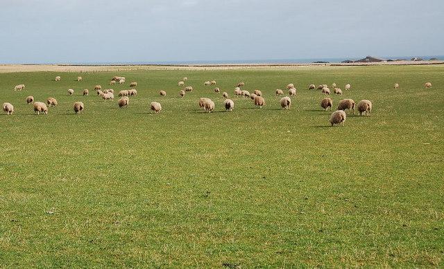 Sheep grazing near Field