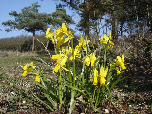 Daffodils on Fore Down