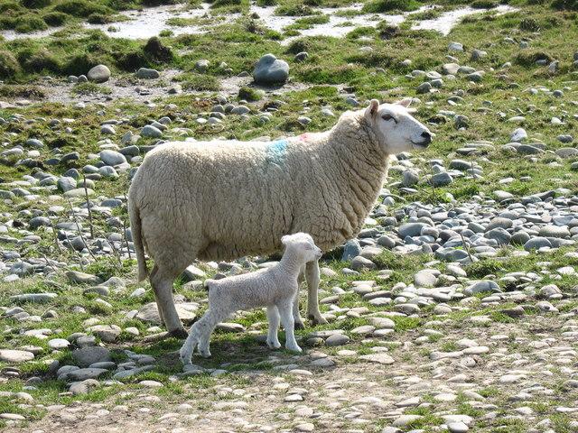 Ewe and new born lamb on the shingle bar at Hen Borth