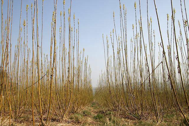 Inside a field of willow saplings