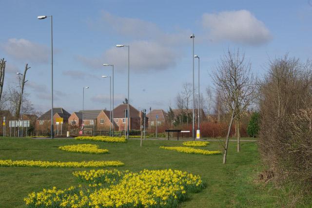 Daffodils at Cawston