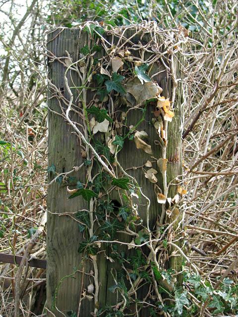 Ivy-clad gate post