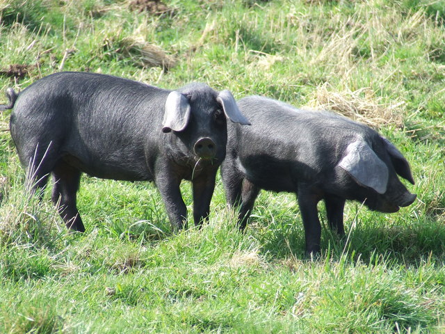 Large Black Pigs © Keith Evans cc-by-sa/2.0 :: Geograph ...