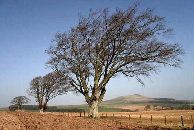 Beech trees at a field boundary