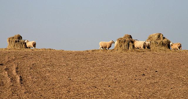 Supplementary feeding for sheep