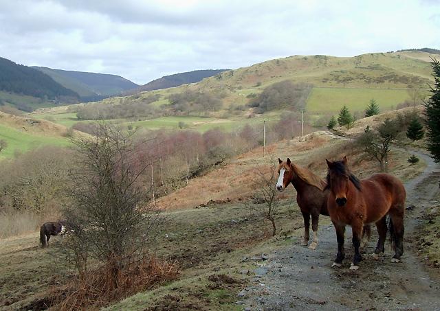 Grazing in the Mynach Valley, Ceredigion