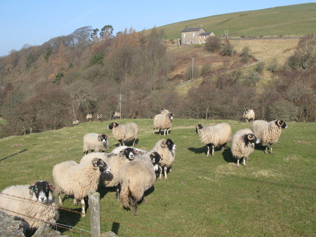 Swaledale sheep grazing at Sinderhope