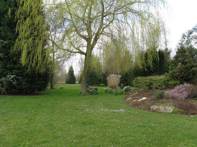 Willow in landscaped garden
