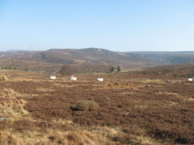 Sheep near Cloven Crag