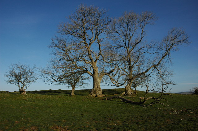 Trees on Cefn Crug