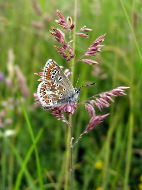 Northern Argus: Northern Brown Argus (Aricia Artaxerxes) © Andrew Curtis