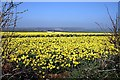SW8760 : Looking through the hedge at a field of daffodils near Mountjoy by Fred James