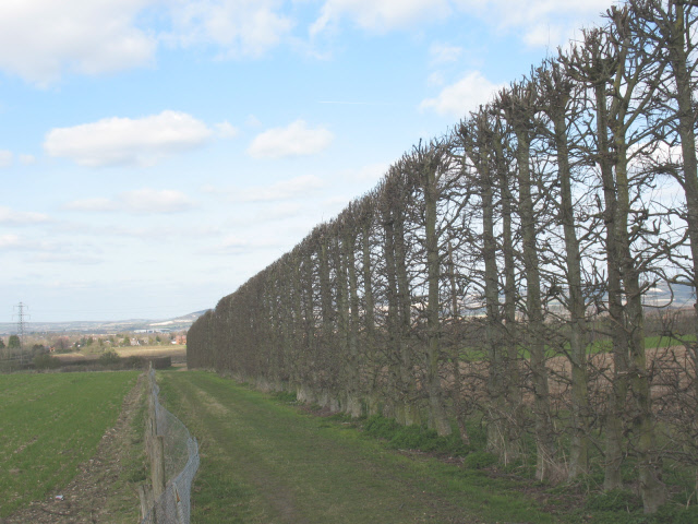 Kentish tall hedges