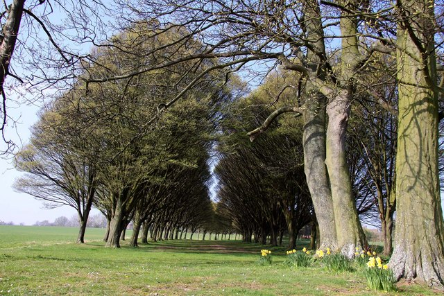 Avenue of trees near Radley College