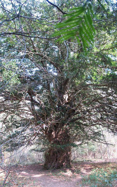The King Yew in Woolaston Wood