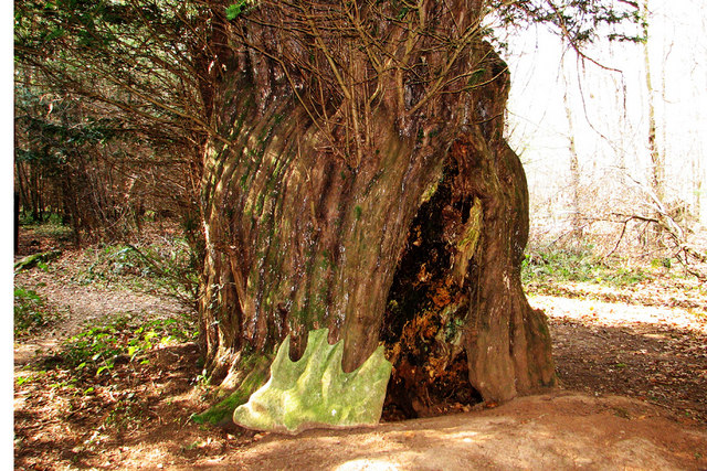 The bole of the King Yew in Woolaston wood