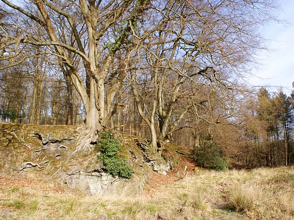 Beech trees on rocky outcrop, Forest of Dean