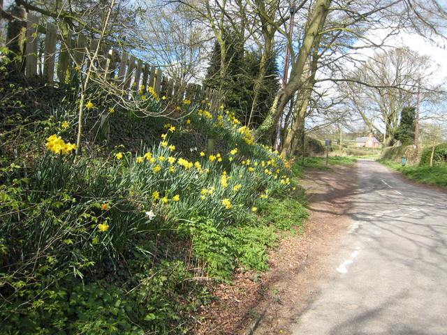 Daffs in Shirley