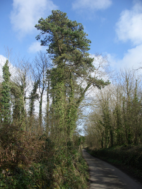 Tall conifer by lane to the north west of Tythegston
