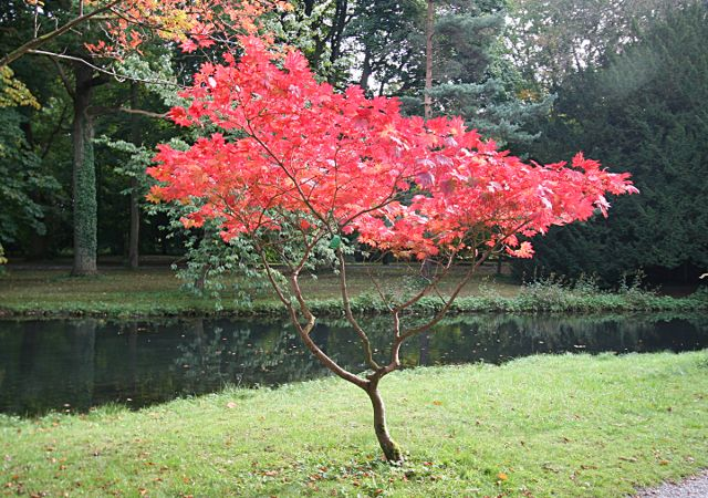Red acer japonicum andy waddington cc by sa 2 0 for Arboles para cierre de jardin
