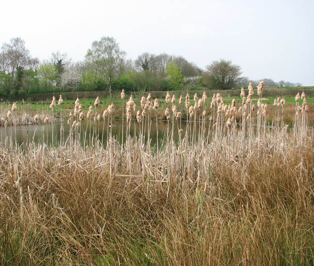 A barrier of bull rushes