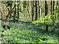 SP8909 : The First Flush of Bluebells in Tatnall's Wood by Chris Reynolds