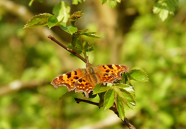 Young Hawthorn, old Comma