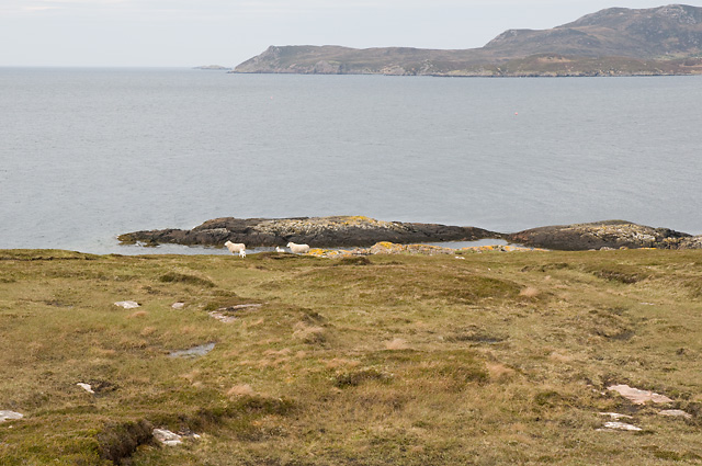 Sheep and Lambs on Rubha Dùnan