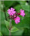 TG2325 : Red Campion (Silene dioica) by Evelyn Simak