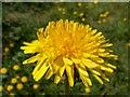 SE3211 : A Dandelion by John Fielding