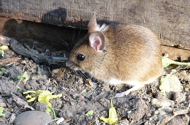 Field mouse at bay