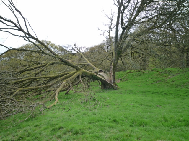 Ash tree cleaved by a lightning bolt