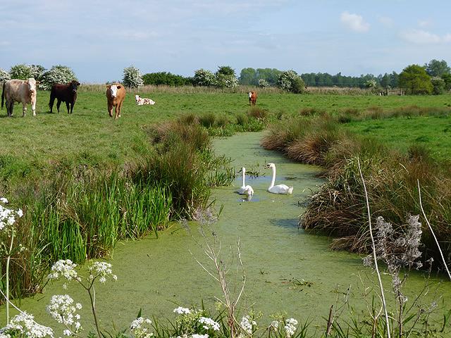 Swans, cows, marsh