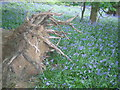 TL0035 : fallen tree and bluebells Steppingley Copse by ian saunders