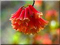 NN6322 : Rhododendron flower : Week 20