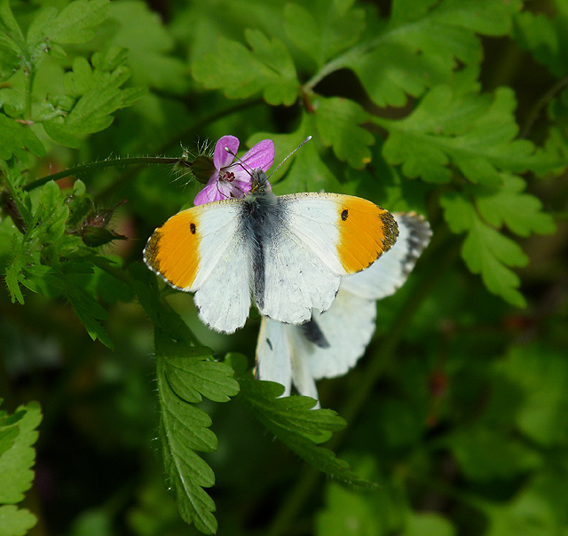 Orange Tip on pink flower