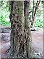 SP8811 : The trunk of an old yew tree in Cobblers Pits, Aston Clinton by Chris Reynolds