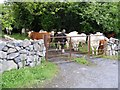 M2708 : Cattle, Muckinish East Townland by A McCarron