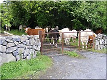 M2708 : Cattle, Muckinish East Townland by Mac McCarron