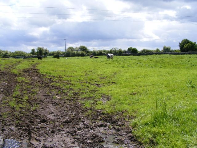 Cattle grazing, Caherwoneen North Townland