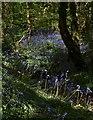 SW7343 : Bluebells in Unity Wood (2) by Derek Harper