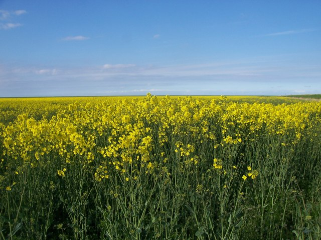 Rape field, Terrington Marsh