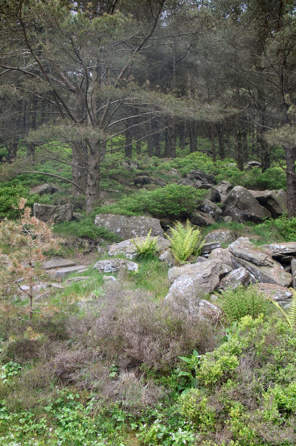 Boulders in the forest near Blaengarw (2)