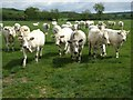 SE8166 : A load of Bullocks! by Matthew Hatton