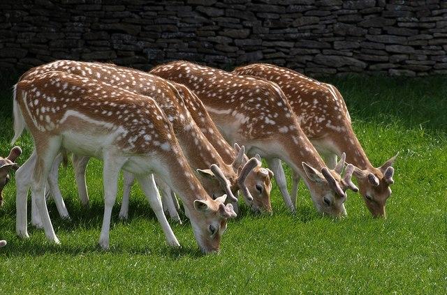 Fallow deer, Dyrham