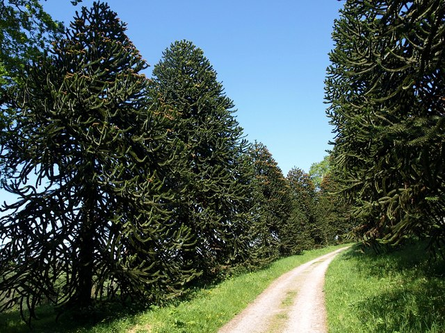 Monkey puzzle avenue, Arlington