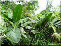 SX0455 : Banana trees and other lush growth - Eden Project by Sarah Smith
